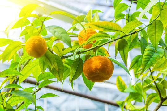 Tangerine tree fruit of madarin in a greenhouse.