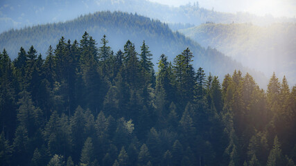 Amazing fog forest landscape view with firs in the morning sun in black forest background panorama