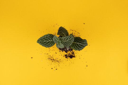 Succulent Top yellow BG dusty 3