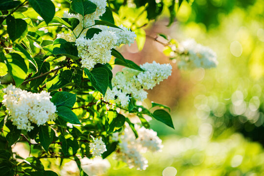 white lilac in the garden