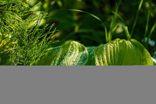 hosta leaves in the garden