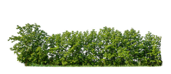 Green trees isolated on white background. forest and leaves in summer rows of trees and bushes