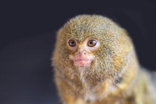 Portrait of the head of the smallest dwarf marmoset monkey - Callithrix pygmaea. It is dark behind.