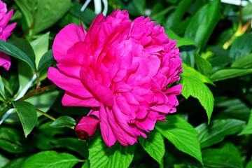 Obraz kwiat piwonia - fototapety do salonu