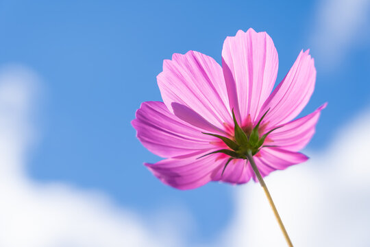 Beautiful pink garden cosmos with blue sky background, copy space