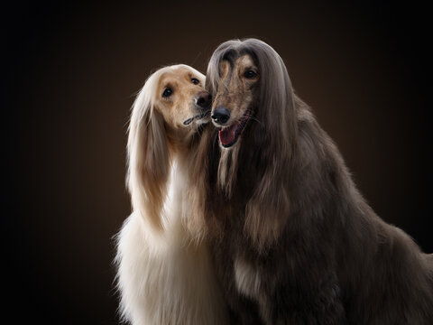 two dogs. Love, relationships. Afghan hound on a black background. long-haired dog for excellent grooming