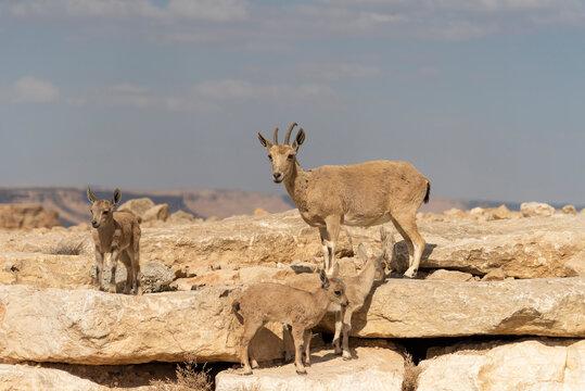 Capra ibex nubiana, Nubian Ibexes family near Mitzpe Ramon. High quality photo