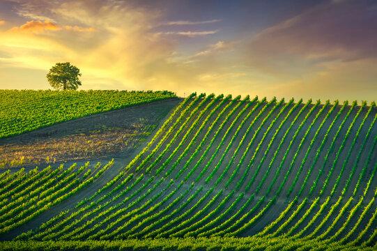 Vineyard and tree at sunset. Castellina in Chianti, Tuscany, Italy
