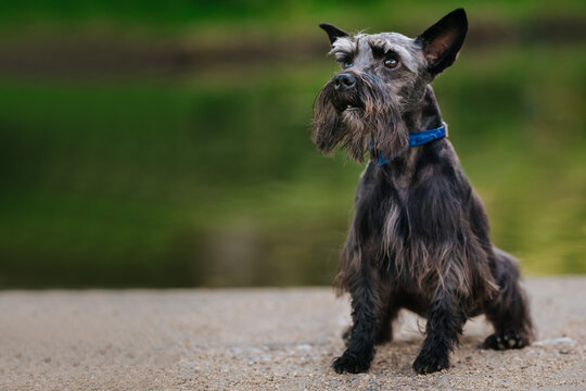 Portrait of a miniature schnauzer in a park under the sunlight with a blurry background