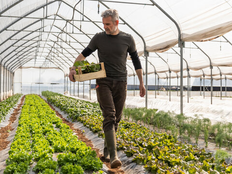 Male farmer looking at grown lettuce while carrying crate at greenhouse