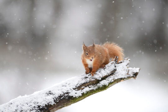 Eurasian red squirrel (Sciurus vulgaris) sitting on snow-covered branch