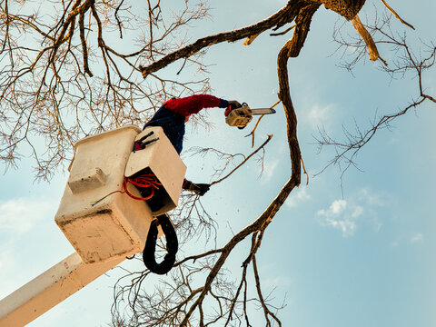Man in bucket truck with chainsaw  cutting the branches off dead tree.