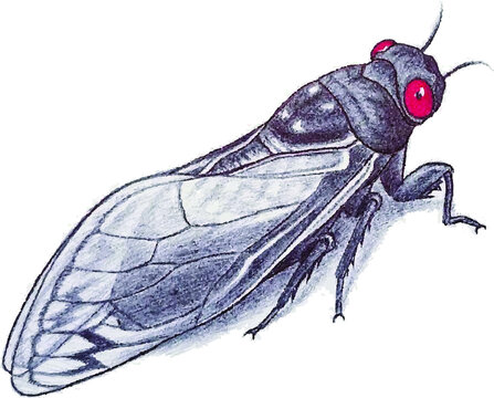 Vector illustration of  Brood X cicada on the white background