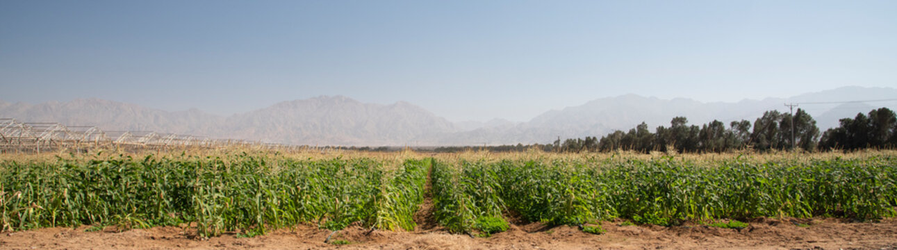 Panorama View of corn Plantation Maize agriculture, Green landscaping with copy space. High quality photo