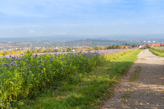.Footpath towards the small town of Vellmar in Germany, on the side a field with purple cornflowers