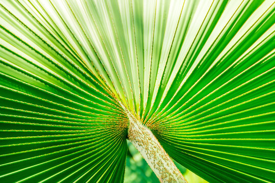 Textured striped leaves stripes, fanning out radially about the center of the cutting of a tropical palm tree washingtonia filifera.