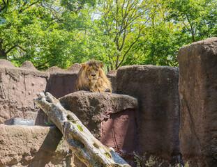 Lew, król, zoo, grzywa, król lew, drapieżnik, spojrzenie lwa, samiec, podziw,