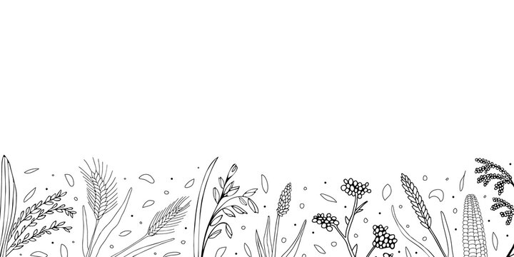 Hand drawn horisontal banner with empty space. Grains plants and cereal rye barley and wheat ear spikes. Vector sketch illustration for food package design template, engraving food.