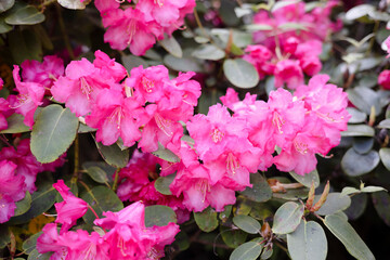 Bright pink flowering rhododendron shrubs in a park.