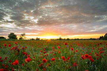 Fototapeta Zachód słońca na polach makowych obraz