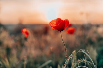 Obraz Open bud of red poppy flower in the field at mountainous countryside - fototapety do salonu