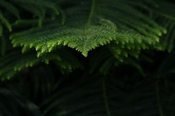 Closeup of green prickly branches araucaria pine tree. Araucaria heterophylla, christmas tree, araucaria tree or monkey puzzle tree for christmas celebration