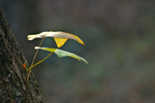 Beautiful Yellow leaf growing out the side of tree trunk in the Chattahooche National Forest mountains near Hammond Gap in Georgia
