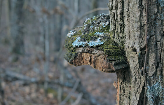 tree trunk in the Chattahoochee National Forest mountains in Georgia with a burr growing out the side
