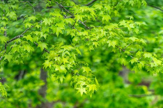 Bright green tree leaves