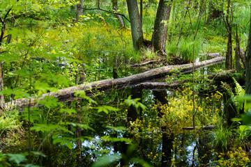 Obraz Konar drzewa leżący w leśnym bagnie - fototapety do salonu