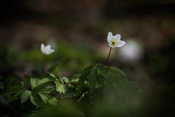 Obraz zawilce rosnące wiosną w lesie - fototapety do salonu