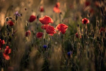 Obraz maki na łące pośród zbóż, trawy i innych kwiatów polnych - fototapety do salonu