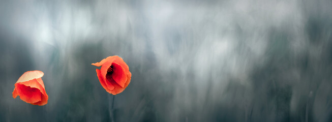Obraz Czerwone piękne kwiaty maków na rozmytym tle zielonej łąki. - fototapety do salonu