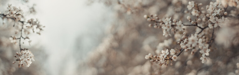 Beautiful light spring banner background with delicate blooming apricot or cherry blossoms in sunlight. Copy space for text or design. Horizontal banner.