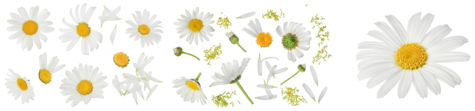 chamomile or daisies isolated on white background with full depth of field. Set or collection.