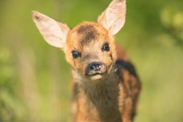 Closeup roe deer cub portrait