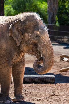 Asian Elephant at the Phoenix Zoo