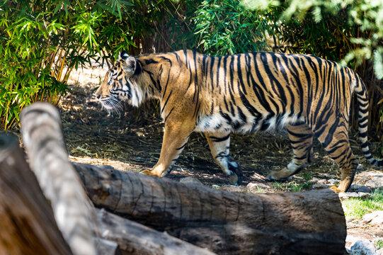 Sumatran tiger at Phoenix Zoo