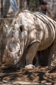 White Rhinoceros at the Phoenix Zoo