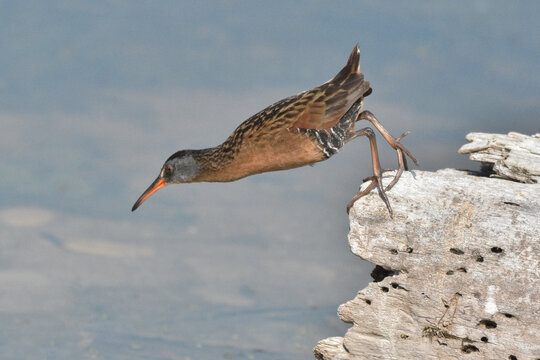 Virginia rail about to jump
