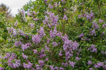 lilac syringa vulgaris blossom in summer of Germany