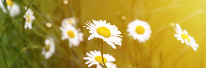 chamomile or daisy white flower bush in full bloom on a background of green leaves and grass on the...