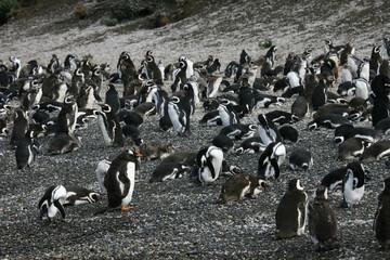 Magelhaenpinguin, Magellanic Penguin, Spheniscus magellanicus