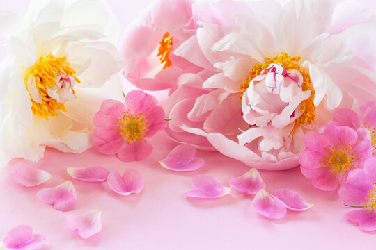 Pink and white peonies, wild rose flowers on a pink background, blur, selective focus. Card for the wedding, mother's day, holidays.