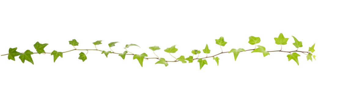 Ivy twig with small green leaves isolated on white