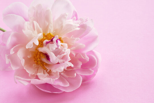 White-pink peony flower on a pink background, postcard, space for congratulations text for a holiday, mother's day, birthday.