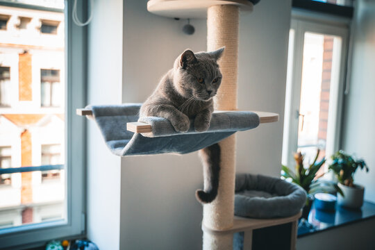 Closeup shot of a British Shorthair cat lying on a cat tree at home