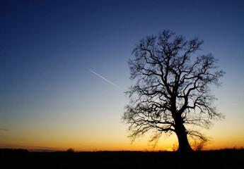 Fototapeta Dąb o zachodzie Słońca obraz