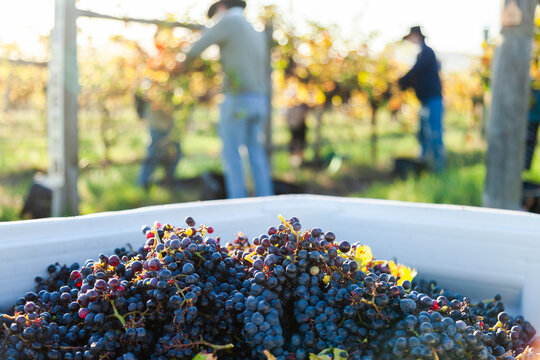 Red wine grapes in grape bin during harvest in vineyard with workers blurred in background