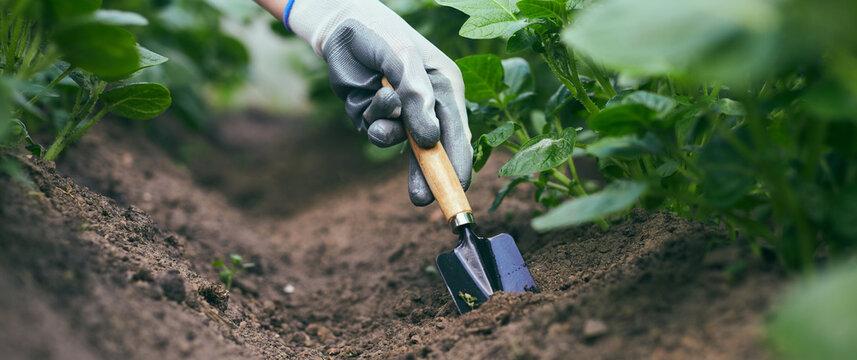Gardeners hands planting and picking vegetable and potato from backyard garden. Gardener in gloves prepares the soil for seedling.